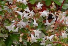 abelia-grandiflora-343