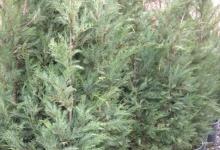 cupressocyparis-leylandii-leylandi-agaci-415