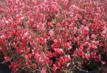 Cydonia Japonica (Bahar Dalı)