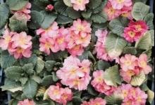 Primula (Çuha Çiçeği)