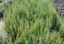 rosmarinus-officinalis-biberiye-388